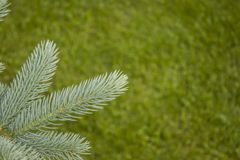 Blue spruce branch for postcards. Stock Images