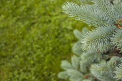 Blue spruce branch for postcards. Royalty Free Stock Photography