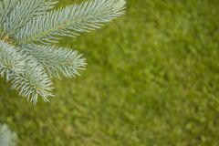 Blue spruce branch for postcards. Royalty Free Stock Photos