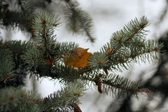 Blue spruce branch. Stock Images