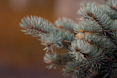Blue spruce branch . Royalty Free Stock Photo