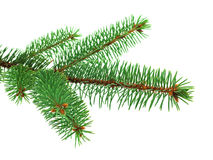 Blue spruce branch on white Royalty Free Stock Image