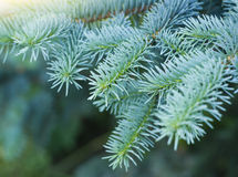 Blue spruce branches. On a green background Royalty Free Stock Images