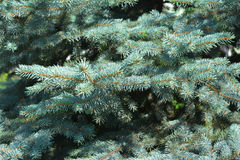 Blue spruce branches as a textured background. Blue spruce, green spruce, white spruce, Colorado spruce or Colorado blue spruce Stock Images