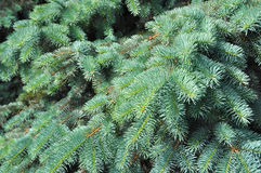 Blue spruce branches as a textured background. Blue spruce Royalty Free Stock Images
