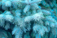 Blue spruce, branches with blue needles as background. royalty free stock images