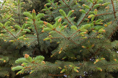 Blue spruce branches Stock Photos