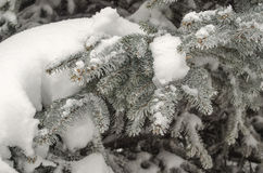 Blue spruce branches Stock Photo
