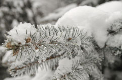 Blue spruce branches Royalty Free Stock Image