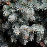 Blue spruce branches. Blue spruce. dense pine branches. close-up Stock Photo