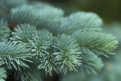 Blue spruce branches Royalty Free Stock Photo