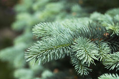 Blue spruce branches Stock Photography