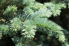 Blue spruce branches Royalty Free Stock Photos