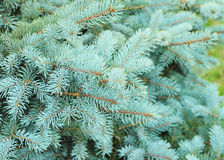 Blue spruce  branches on a green background.The blue spruce, green spruce, white spruce, Colorado spruce or Colorado blue spruce Royalty Free Stock Photo