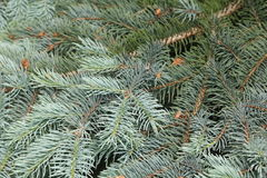 Blue spruce branches on a green background. Royalty Free Stock Photos