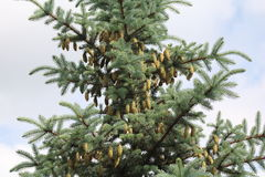 Blue spruce branches on a green background. Royalty Free Stock Images