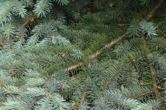 Blue spruce branches on a green background. Royalty Free Stock Photography
