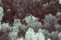 Blue spruce branches grown in the Botanical garden background texture natural beauty.  stock photography