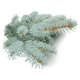Blue Spruce Branches. Royalty Free Stock Photo