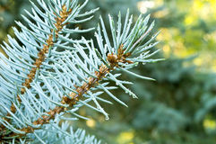 Blue Spruce Branches. Selective focus on blue spruce branches with water droplets Royalty Free Stock Photography
