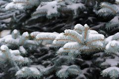 Blue Spruce Branches with Snow in Winter Stock Photography