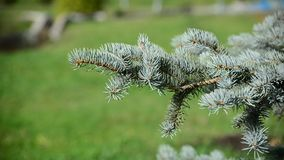 Blue spruce branches sways in breeze stock video
