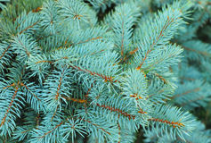 Blue spruce branches on a textured  background. Royalty Free Stock Photography
