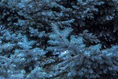 Blue spruce, christmas tree background royalty free stock photo