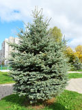 Blue spruce in the city. Stock Images