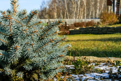 Blue spruce close-up and earliest snow in the autumn garden Royalty Free Stock Photo