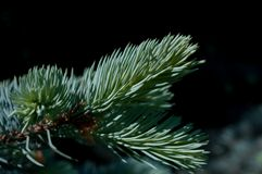 Blue spruce close-up royalty free stock photos