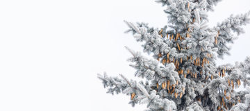 Blue spruce with cones is covered with frost Stock Image