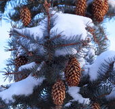 Blue Spruce Cones Stock Image