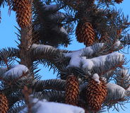 Blue Spruce Cones Royalty Free Stock Image