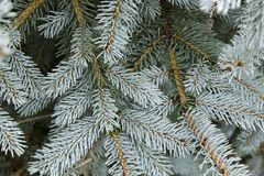 Blue spruce conifer branch beautiful winter background. Beautiful blue spruce branch background stock images