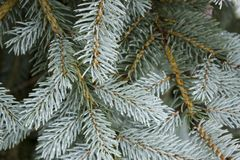 Blue spruce conifer branch beautiful winter background. Beautiful blue spruce branch background royalty free stock images