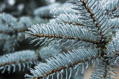 Blue spruce conifer branch beautiful winter background. Blue spruce conifer tree branch beautiful winter background stock photos