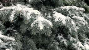 Blue spruce covered with snow during blizzard. Snow falls on branches of the blue spruce stock video footage