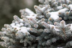 Blue spruce covered with snow Royalty Free Stock Image
