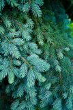 Blue Spruce detail Stock Images