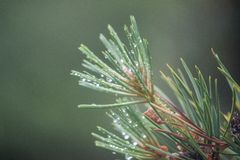 Blue Spruce with drops of water, macro Stock Images