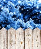 Blue spruce forest at a wooden fence Stock Photography