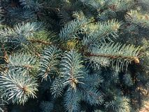 Blue spruce in autumn Stock Images