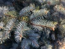 Blue spruce in autumn Stock Photography
