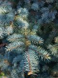 Blue spruce in autumn Royalty Free Stock Photography