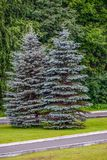 Blue firs on the edge of the forest. Blue spruce gracing the Park are on the trimmed lawn Royalty Free Stock Photography