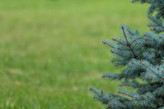 Blue spruce and green grass. Background, blue spruce and green grass Royalty Free Stock Photography