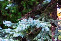 Blue spruce, Picea pungens. The blue spruce, green spruce, white spruce, Colorado spruce, or Colorado blue spruce, with the scientific name Picea pungens, is a royalty free stock image