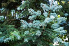 Blue spruce, Picea pungens. The blue spruce, green spruce, white spruce, Colorado spruce, or Colorado blue spruce, with the scientific name Picea pungens, is a stock image