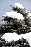 Blue spruce in heavy snow Royalty Free Stock Images